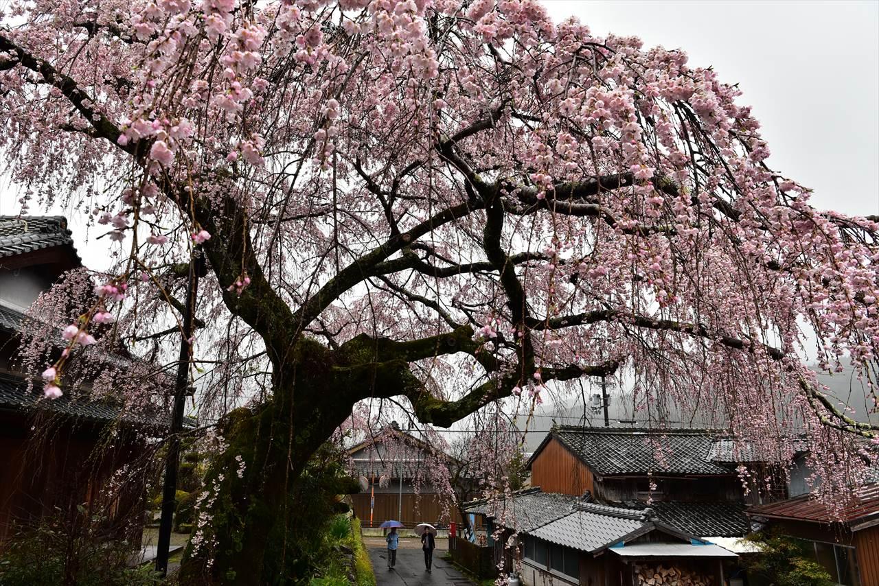野長瀬の桜