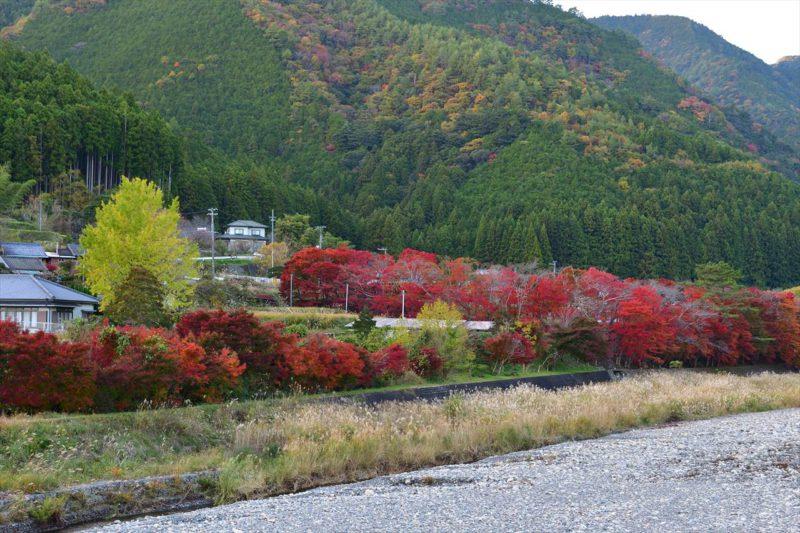 日置川右岸の紅葉