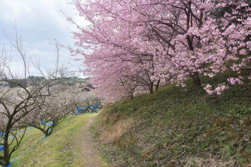 三栖王子の梅と桜