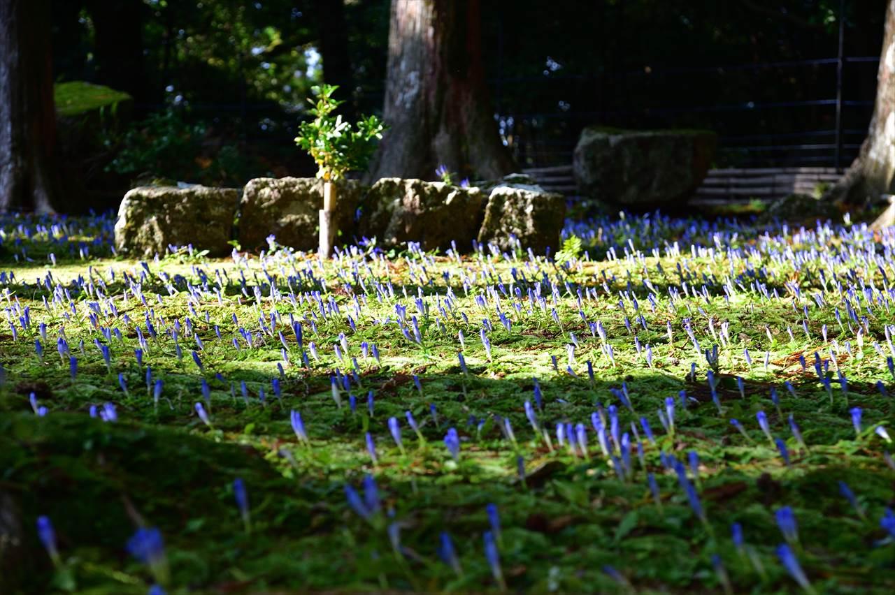 阿弥陀寺のアサマリンドウ