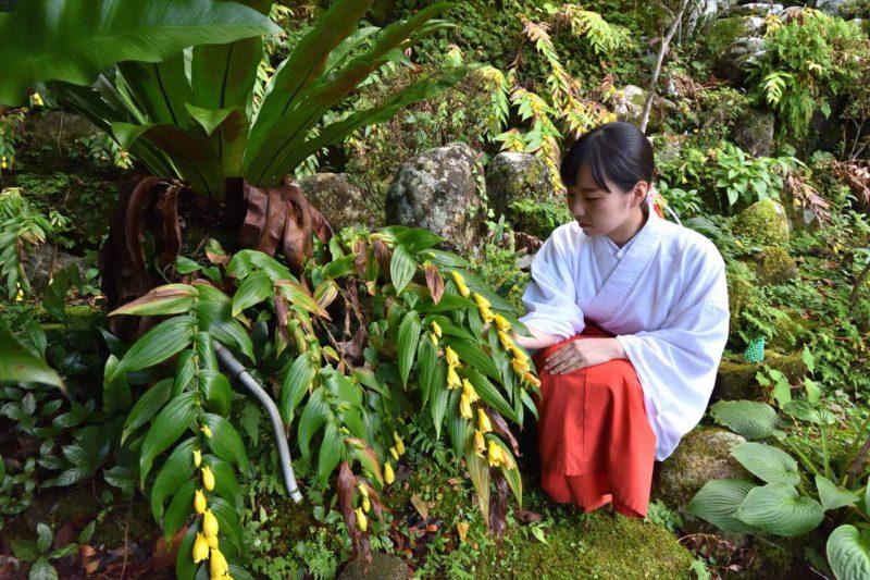 熊野那智大社のキイジョウロウホトトギス