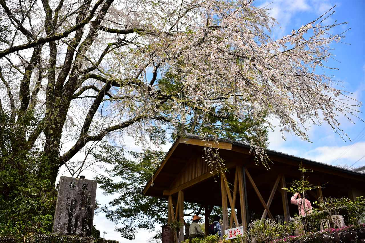伏拝王子の桜