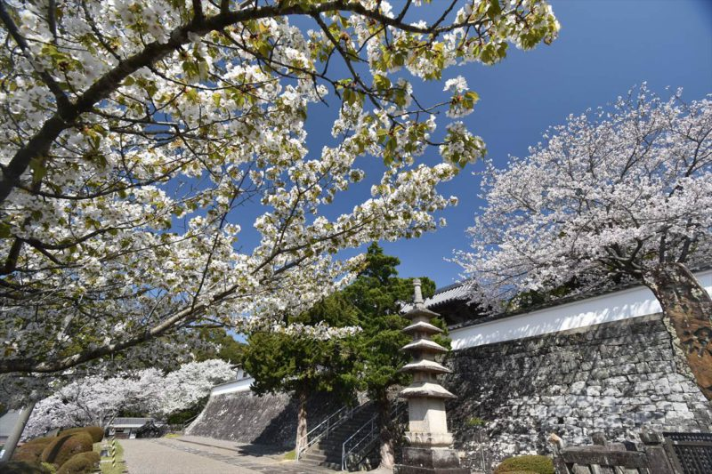 草堂寺の桜