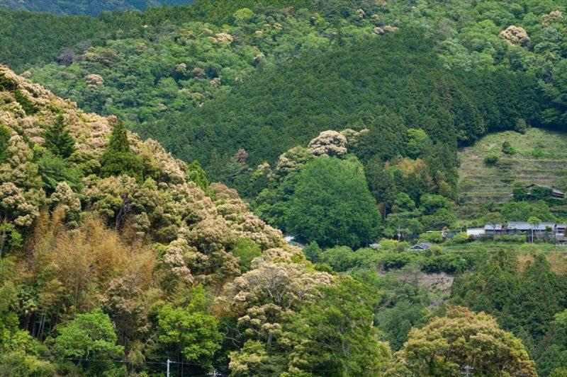 緑の大銀杏